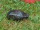 moschusschildkroete