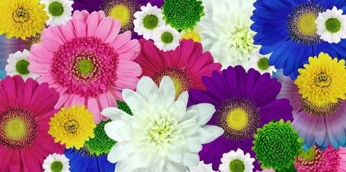 Gartenfreunde, Chrysanthemen, Vortrag